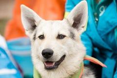 Śmieszny uśmiechu bielu pies z nastroszonymi ucho Zdjęcia Stock