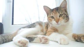 Śmieszny wideo kot kot próby dostawać z okno parapetu meows kłama na stole zwolnionego tempa wideo tricolor kota zwierzę domowe zdjęcie wideo