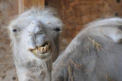 Śmieszny wielbłąd Z Złymi zębami obraz stock