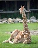 śmieszny zamknięta śmieszna żyrafa Zdjęcie Royalty Free