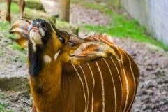 ?mieszny zbli?enie twarz wschodni halny bongo, Krytycznie zagra?aj?cy zwierz?cy specie od Kenja w Afryka, Rusza? si? po spirali r zdjęcia stock