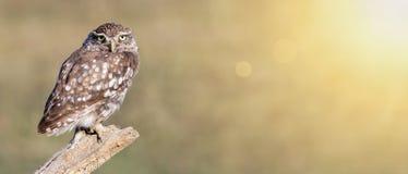 Śmieszny zwierzęcy sztandar - gnuśny sowy patrzeć Zdjęcia Royalty Free