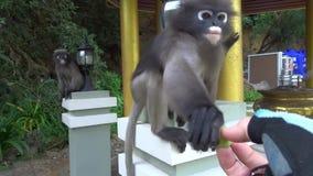 Śmiesznych ślicznych małp spectacled langur w parku narodowym zbiory