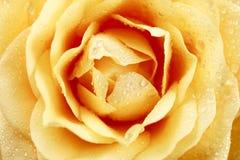 Śmietankowa róża Makro- Zdjęcia Royalty Free