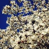 Śmietankowi okwitnięcia Magnoliowy drzewo abstrakcjonistycznego zdjęciu tła ramowej rocznik jednorodnego Zdjęcie Royalty Free