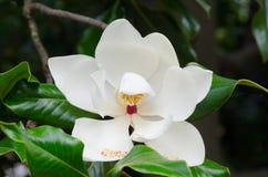 Śmietankowy - biała południowa magnolia Obraz Royalty Free