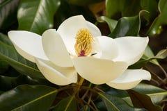 Śmietankowy - biały Południowej magnolii okwitnięcie obrazy royalty free