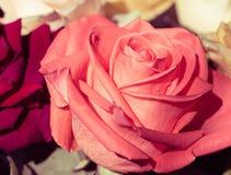 Śmietankowy menchii róży zakończenie up obrazy royalty free