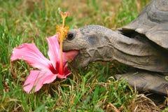 śniadanie żółwia Zdjęcie Royalty Free