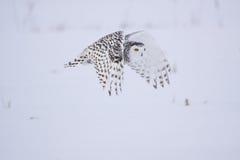 śnieżna żeńska sowa Zdjęcia Royalty Free