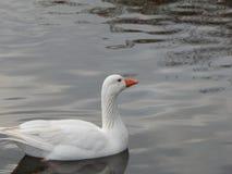 Śnieżna Biała gąska Obraz Royalty Free