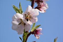 Śnieżna brzoskwinia Zdjęcia Royalty Free