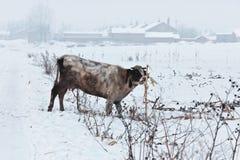 śnieżna bydło wioska Fotografia Royalty Free