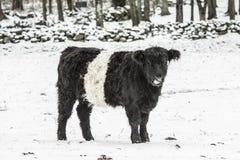 Śnieżna czarny i biały krowa Zdjęcie Royalty Free