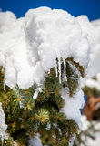 Śnieżna gałąź Obraz Royalty Free