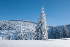 Śnieżna Sosna Zdjęcie Stock