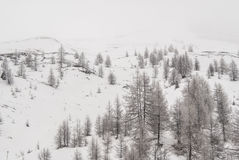 Śnieżna sosna Obrazy Royalty Free