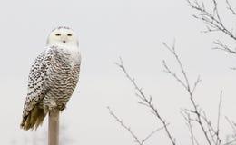 Śnieżna sowa zdjęcie stock