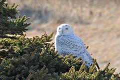 Śnieżna sowa Zdjęcie Royalty Free