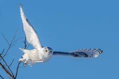 Śnieżna sowa - Latający obraz stock