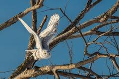 Śnieżna sowa - Latający Z drzewa fotografia stock