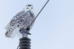 Śnieżna sowa na słupie Zdjęcie Stock