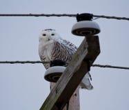 Śnieżna sowa na telefonicznym słupie zdjęcie stock