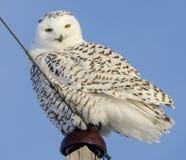 Śnieżna sowa Umieszczająca Zdjęcia Royalty Free