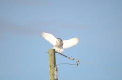 Śnieżna sowa z szerokimi skrzydłami ląduje na władza słupie Zdjęcie Royalty Free