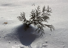 śnieżna tuja Zdjęcia Royalty Free