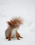 śnieżna wiewiórka Zdjęcia Royalty Free