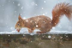 Śnieżna wiewiórka Obraz Royalty Free