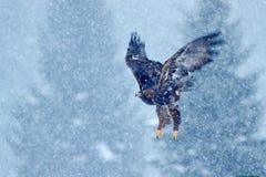 Śnieżna zima z orłem Ptak zdobycz Ogoniasty Eagle, Haliaeetus albicilla, lata z śnieżnym płatkiem, ciemny las w tle zdjęcia royalty free