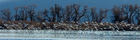 Śnieżne gąski bierze daleko od wody Obrazy Stock