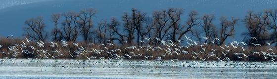 Śnieżne gąski bierze daleko od wody Fotografia Royalty Free