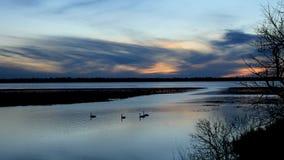 Śnieżne gąski pływają pokojowo na rzece mississippi dokąd ja płynie z wciąż marznącego Jeziornego Bemidji w Minnestoa zdjęcie wideo