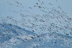 Śnieżne gąski przesiedleńcze Fotografia Stock