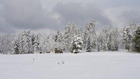 Śnieżne krowy obraz royalty free