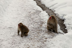 Śnieżne małpy, makaka kąpanie w gorącej wiośnie, Nagano prefektura, Japonia Obrazy Stock