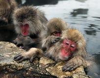 Śnieżne małpy, makaka kąpanie w gorącej wiośnie, Nagano prefektura, Japonia Zdjęcie Royalty Free