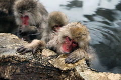 Śnieżne małpy, makaka kąpanie w gorącej wiośnie, Nagano prefektura, Japonia Zdjęcia Royalty Free