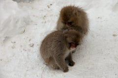 Śnieżne małpy, Nagano prefektura, Japonia Zdjęcia Royalty Free