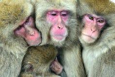 Śnieżne małpy themselves na przeciw zimnej zimy pogodzie rodzinny nagrzanie Jigokudani park, Yudanaka Nagano Japonia Japoński mac obraz royalty free