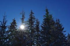Śnieżne sosny na górach Zdjęcie Royalty Free