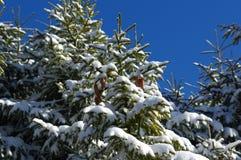Śnieżne sosny z rożkami na górach Zdjęcia Stock