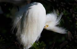 Śnieżnego bielu egret preens piórka zdjęcia royalty free