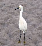 Śnieżnego Egret Egretta thula Na plaży zdjęcie royalty free