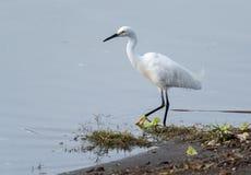 Śnieżnego Egret odprowadzenie jeziorem Zdjęcia Royalty Free