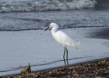 Śnieżnego Egret odprowadzenie jeziorem Fotografia Stock