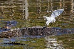 Śnieżnego Egret połów Z pomocą przyjaciela obraz stock